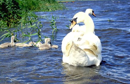 showed: Family of swans showed out the young generation on a walk Stock Photo