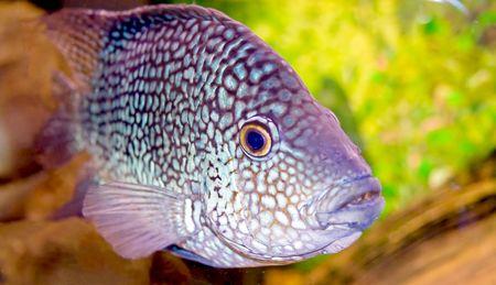 Fancy spotted  fish in aquarium close up photo