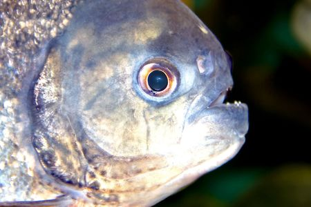 Piranha, predatory fish found in South America that attacks other fish animals photo