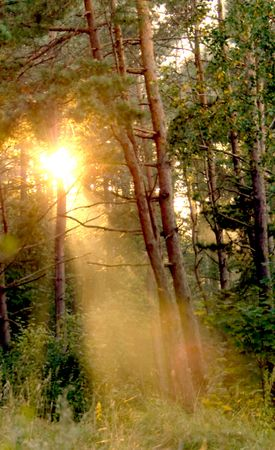 Rays of a sun are in the evening forest