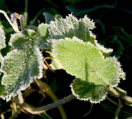Two green, covered a hoarfrost leaf in the early sun autumn morning photo