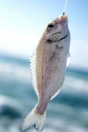 days gone by: Sea fishing. Fish caught on a hook closeup Stock Photo