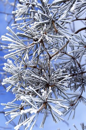 Pine tree branches covered with snowfrost photo