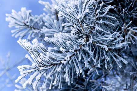 Pine tree branches covered with snowfrost Stock Photo