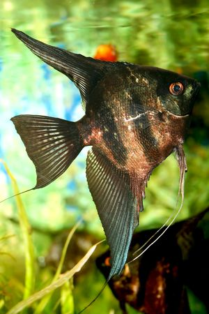 Aquarium fish - Black Scalare in home aquarium Stock Photo - 6573513