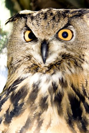 Portrait of wise owl with mystic yellow eyes photo