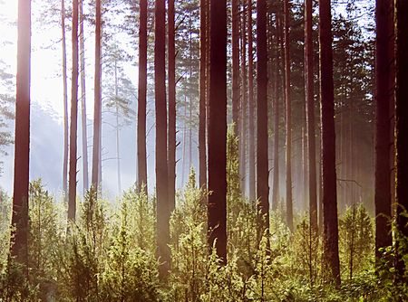 Sun rays crossing a misty forest photographed in an early autumn morning. Stock Photo