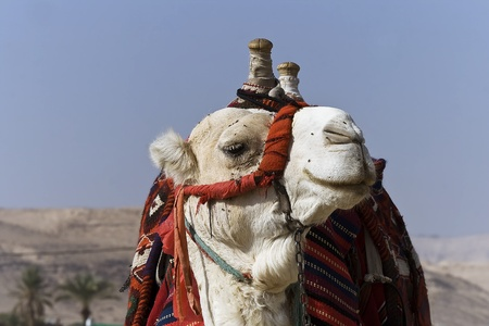 Head and neck of a camel decorated with colorful tassels and by a red pillow-sham