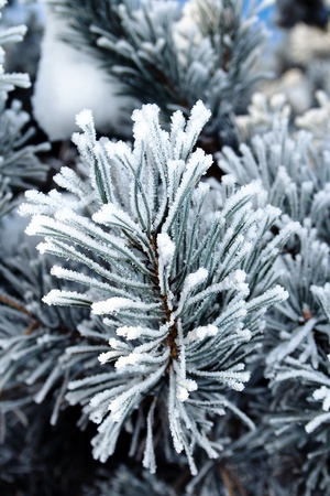 Pine tree branches covered with snowfrost Stock Photo - 8874056