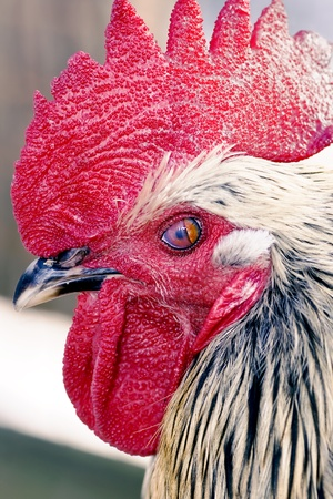 fertility emblem: A profile of a rooster or cockerel with a red comb close-up