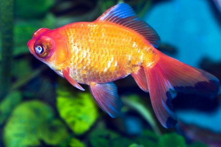 Goldfish in aquarium close-up photo