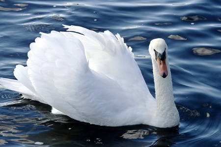 King Swan with the napped feathers of the lake