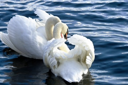 Two king swans surrounded by blue water photo