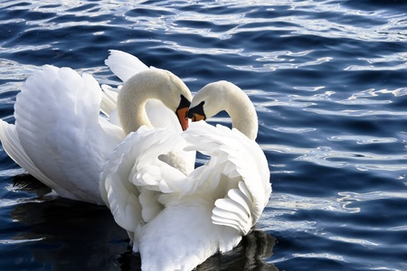 imperious: Two king swans surrounded by blue water