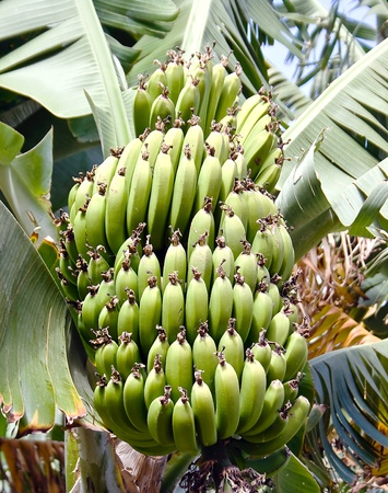 Banana tree with green banana on La Gomera island, Canary photo