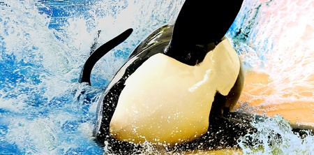 A beautiful orca whale swimming in pool photo