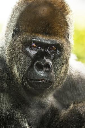 Gorilla portrait close-up in Loro Park, Tenerife photo