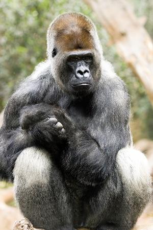 Sitting silver back gorilla  in Loro Park, Tenerife photo
