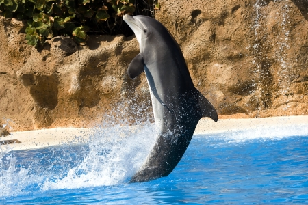 Dolphin dancing in water in Loro Park, Tenerife, Canary photo