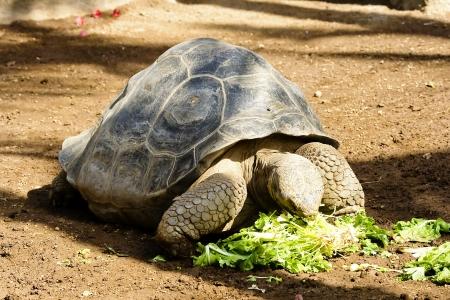 Galapagos tortoise eating leaves in Loro park, Tenerife, Spain
