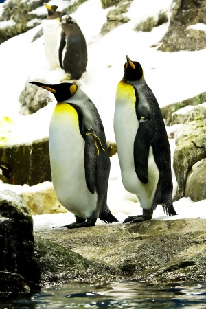 arctic waters: Emperor penguins  Aptenodytes forsteri  is the second largest penguin in the world