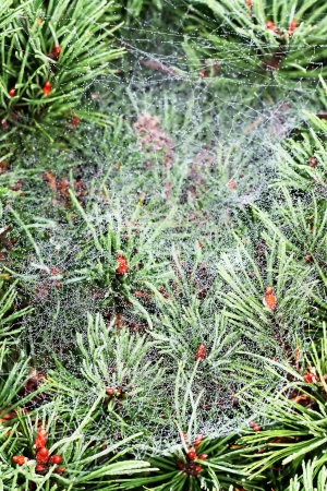 morning dew: Fragile dew spiderweb on pine needles in early morning