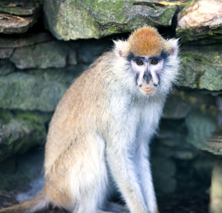 Lonely African Patas monkey on a background a stony wall photo