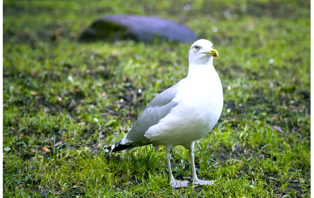 gracefully: Sea gull gracefully poses for a photo close-up Stock Photo