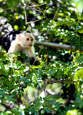 brown throated: White-Throated Capuchin Monkey in Palo Verde National Park, Costa Rica Stock Photo