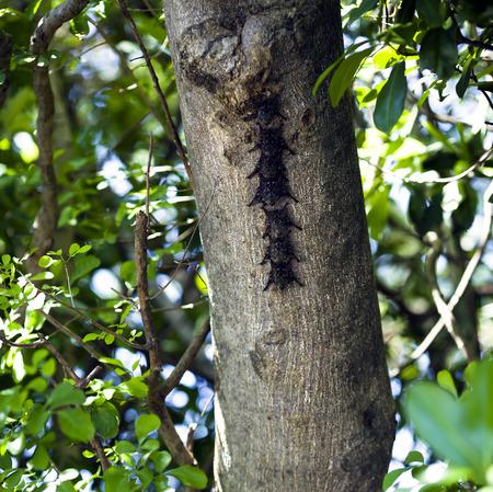 naso: Proboscis Bat - Rhynchonycteris naso - Parque Nacional Palo Verde, Guanacaste, Costa Rica