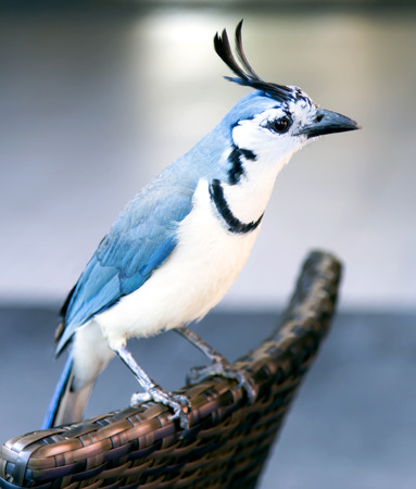 gregarious:  White-throated magpie-jay  Calocitta formosa  is a large Central American jay species  Magpie-jays are noisy, gregarious birds
