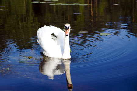 napped: White king swan with the napped feathers of the forest lake