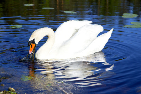 napped: White swan with the napped feathers of the forest lake