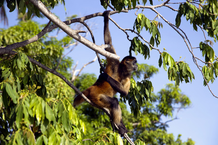 Lake Nicaragua some 350 large islands and one of them Monkey Island with a handful of trees and about 8 Spider Monkeys. Spider Monkeys of the genus Ateles are New World monkeys. photo