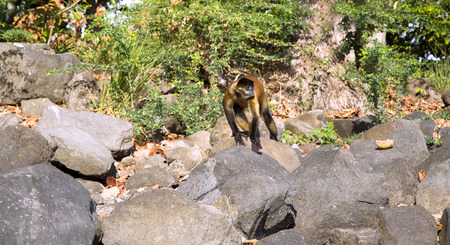 Spider Monkeys jumps on stones on an island Lake Nicaragua photo