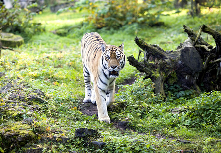 Amur tiger on a walk in autumn in the Riga zoo photo