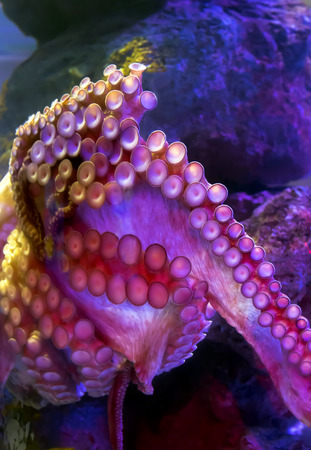 paragon: Tentacles of octopus vulgaris in aquarium in an Siam Paragon is a shopping mall, Bangkok, Thailand