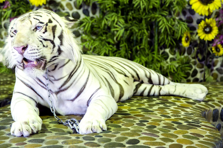 White Bengal tiger in a zoo in Million Years Stone Park in Pattaya, Thailand Stock Photo