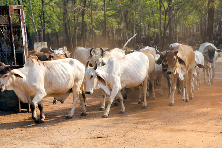 jersey cattle: Thailand white cow herds on Tiger Temple, Kanchanaburi, Thailand.