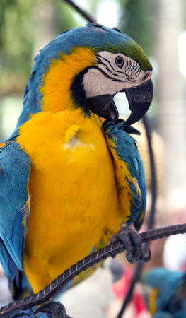 ararauna: A colorful portrait of a blue and gold macaw parrotara ararauna, preening its feathers in Thailand