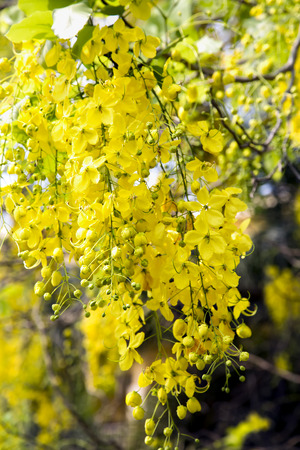 correspond: Royal Flora Ratchaphruek (Cassia fistula) golden shower tree is the de facto national flower of Thailand. Its yellow blossoms correspond to Monday, the birthday of monarch Bhumibol. It is also named Khun or Chaiyaphruek.