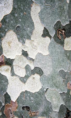 sicomoro: Close-up di corteccia di sicomoro per texture o sfondo.