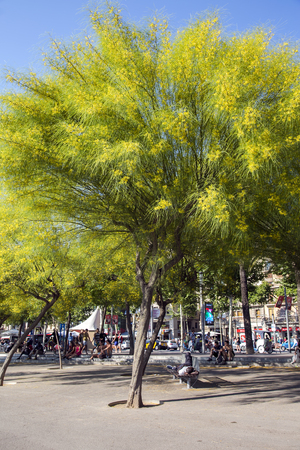 aculeata: SPAIN, BARCELONA, JUNE, 28, 2015 - People resting in the shade flowering trees Ratama or Parkinsonia aculeata by port Olympic in Barcelona, Spain