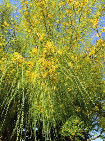 aculeata: Ratama or Parkinsonia aculeata, Jerusalem thorn,  is a species of perennial flowering tree in the pea family in Barcelona, Spain.
