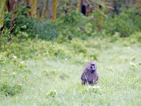 savana: Male Olive Baboon (Papio anubis) is sits in the wet grass after rain in Maasai Mara National Park, Kenya.