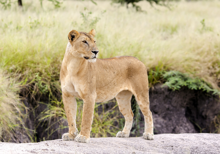 gracefully: Lovely lioness gracefully standing on a rock in a park Tarangire, Tanzania Stock Photo