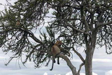 are fed: Fed jaguar resting on a tree in Tarangire National Park, Tanzania.