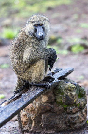 anubis: Male Olive Baboon (Papio anubis) is sits with wet wool after rain in Maasai Mara National Park, Kenya. Stock Photo