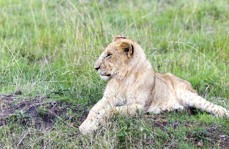 catlike: Lovely young lion cub resting on the grass in the savannah in a park Tarangire, Tanzania