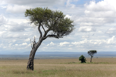 genus: Rare trees of the genus acacia on background of puffy clouds in savannah reserve Masai Mara, Kenya, Africa Stock Photo